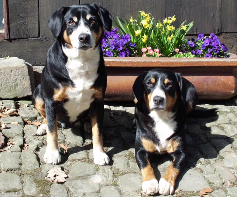 Benja und Felicia vom Gehrshof, die Entlebucher Sennenhunde vom Gehrshof in der Lüneburger Heide.