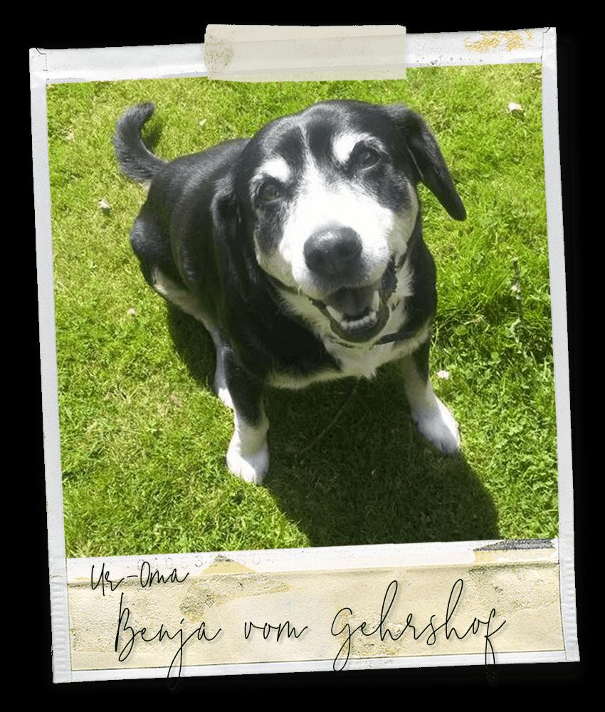 Benja vom Gehrshof, ein Entlebucher Sennenhund vom Gehrshof in der Lüneburger Heide.