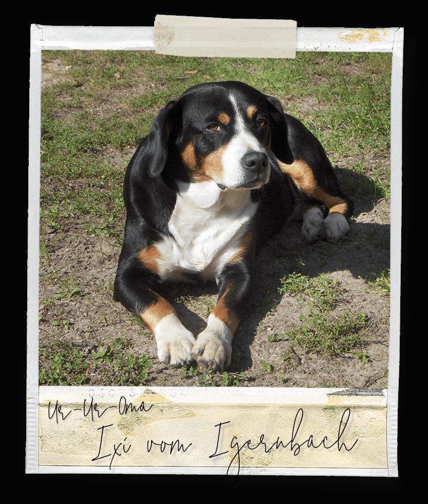 Ixi vom Igernbach, ein Entlebucher Sennenhund vom Gehrshof in der Lüneburger Heide.