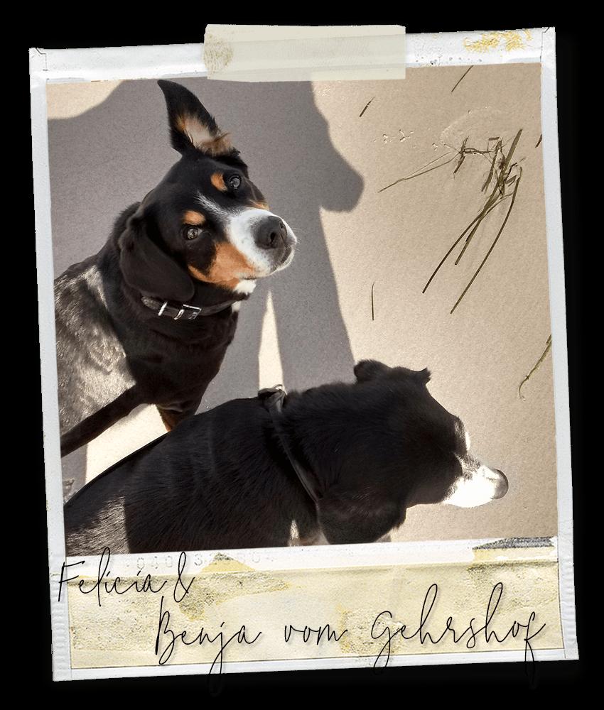 Am Strand ... Felicia und Benja vom Gehrshof, zwei Entlebucher Sennenhunde vom Gehrshof in der Lüneburger Heide.