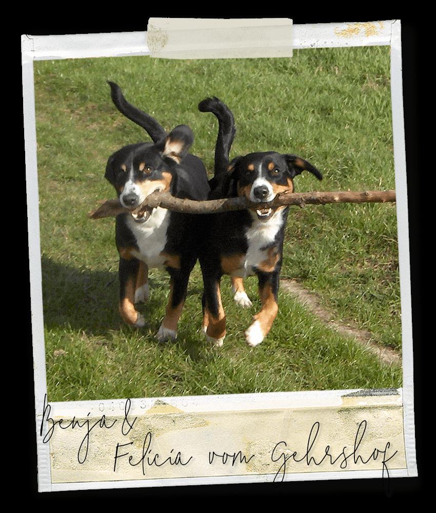 Wir teilen alles ... Felicia und Benja vom Gehrshof, zwei Entlebucher Sennenhunde vom Gehrshof in der Lüneburger Heide.