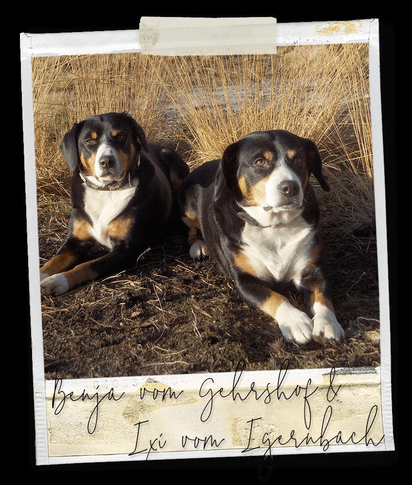 Benja vom Gehrshof und Ixi vom Igernbach, zwei Entlebucher Sennenhunde vom Gehrshof in der Lüneburger Heide.