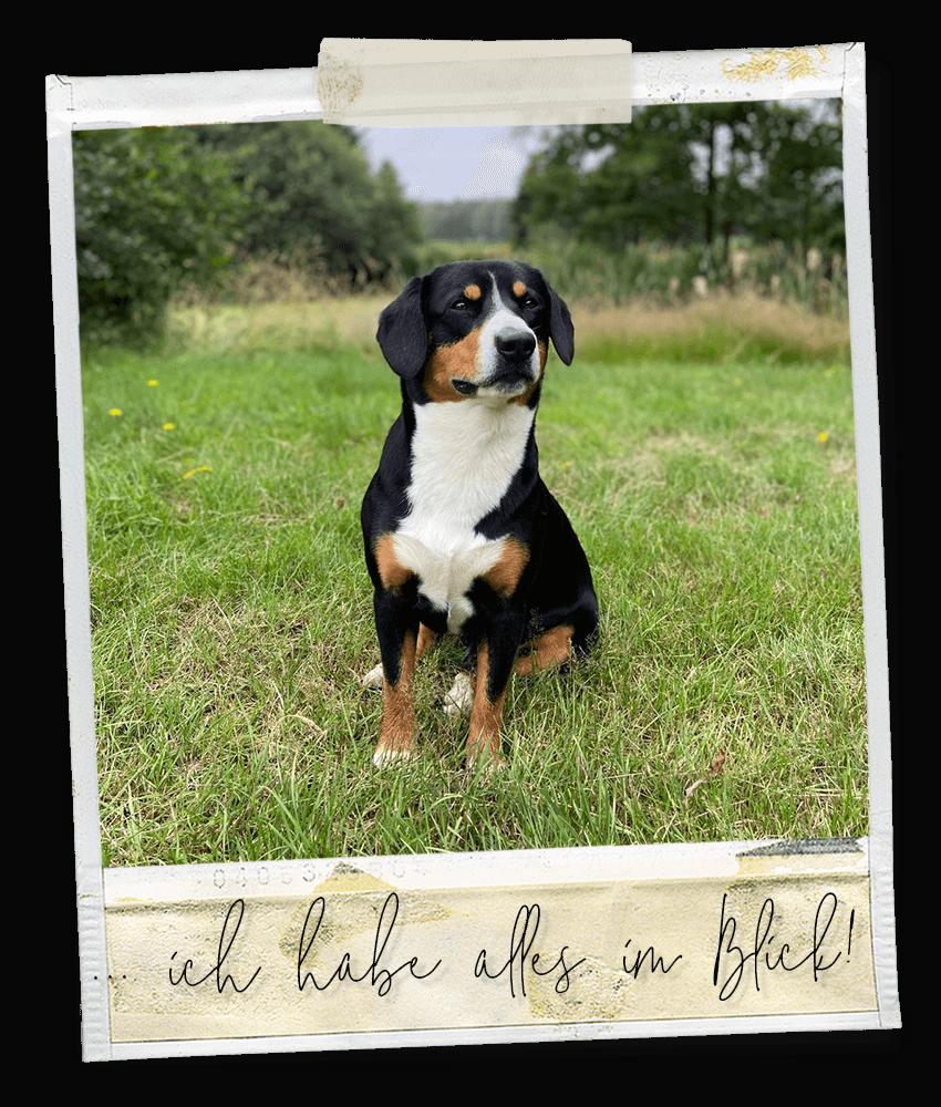 Alles im Blick ... Marlo vom Tanneggerbächli, der Entlebucher Sennenhund vom Gehrshof in der Lüneburger Heide.