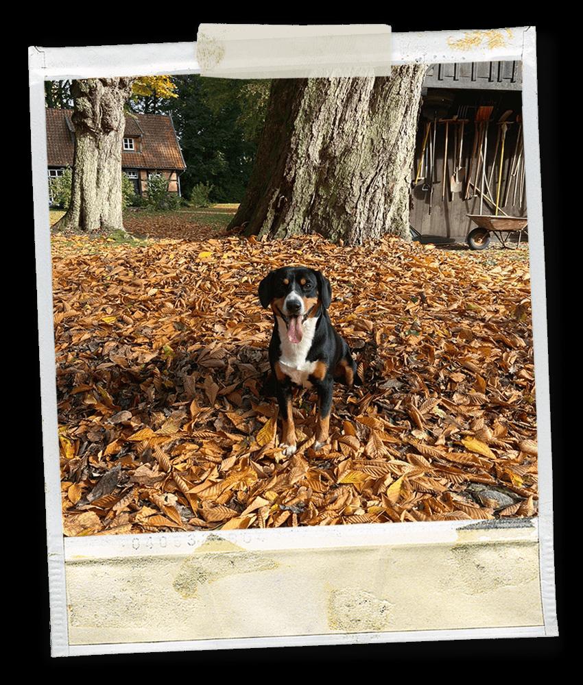 Marlo vom Tanneggerbächli, ein Entlebucher Sennenhund auf dem Gehrshof in der Lüneburger Heide