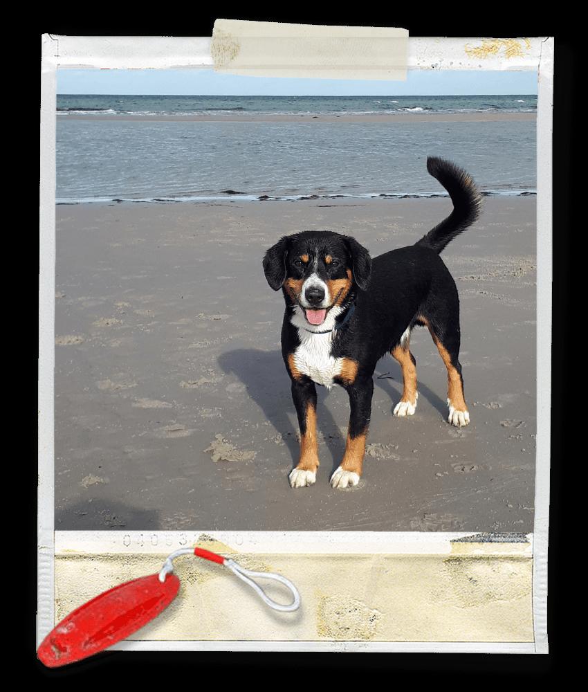 Strandspaß für Marlo vom Tanneggerbächli, der Entlebucher Sennenhund vom Gehrshof in der Lüneburger Heide.