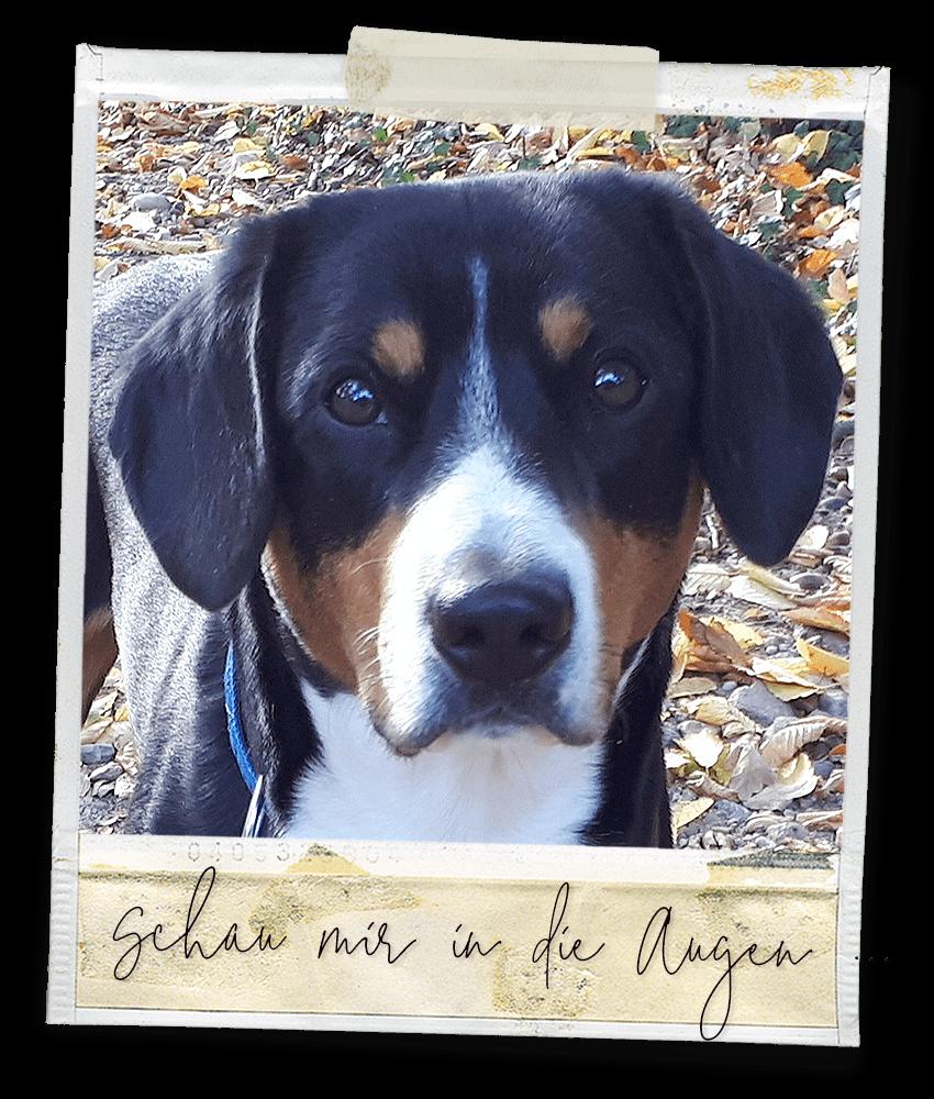 Schau mir in die Augen ... Marlo vom Tanneggergächli, der Entlebucher Sennenhund vom Gehrshof in der Lüneburger Heide.