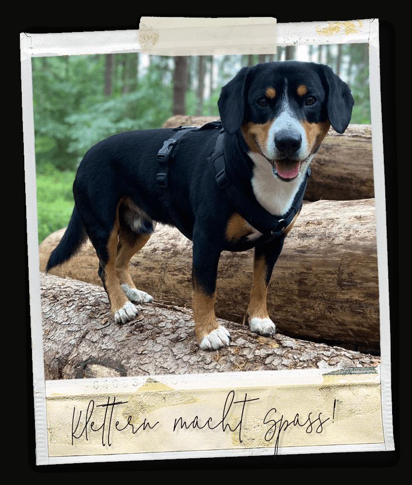Klettern macht Spaß ... Marlo vom Tanneggerbächli, der Entlebucher Sennenhund vom Gehrshof in der Lüneburger Heide.