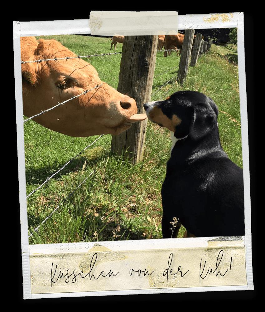 Küßchen von der Kuh ... Marlo vom Tanneggerbächli, der Entlebucher Sennenhund vom Gehrshof in der Lüneburger Heide.