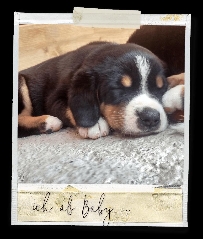 Als Baby ... Marlo vom Tanneggergächli, der Entlebucher Sennenhund vom Gehrshof in der Lüneburger Heide.