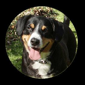 Felicia vom Gehrshof, ein Entlebucher Sennenhund vom Gehrshof in der Lüneburger Heide.