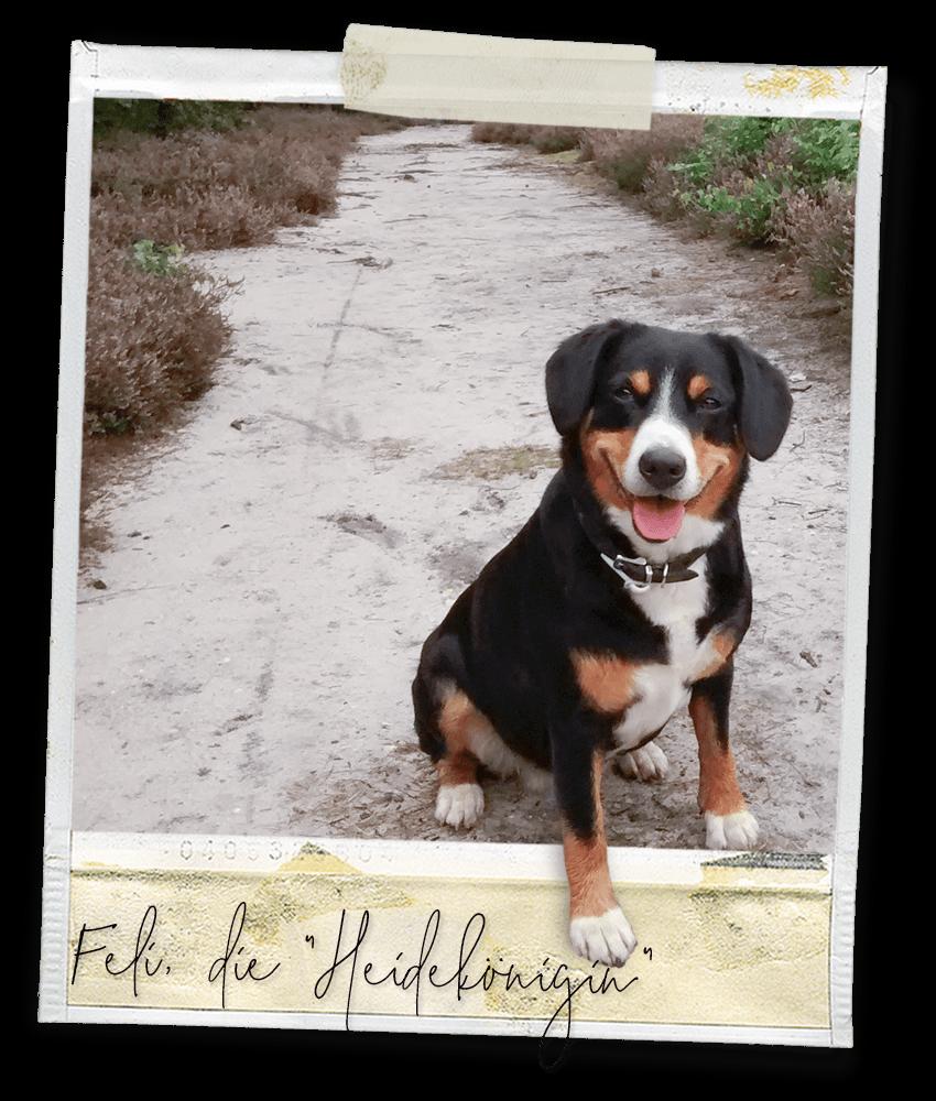 Felicia vom gehrshof, die Heidekönigin ... ein Entlebucher Sennenhund vom Gehrshof in der Lüneburger Heide.