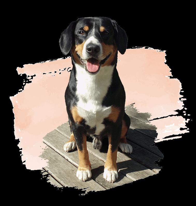 Marlo vom Tanneggerbächli ... ein Entlebucher Sennenhund vom Gehrshof in der Lüneburger Heide.