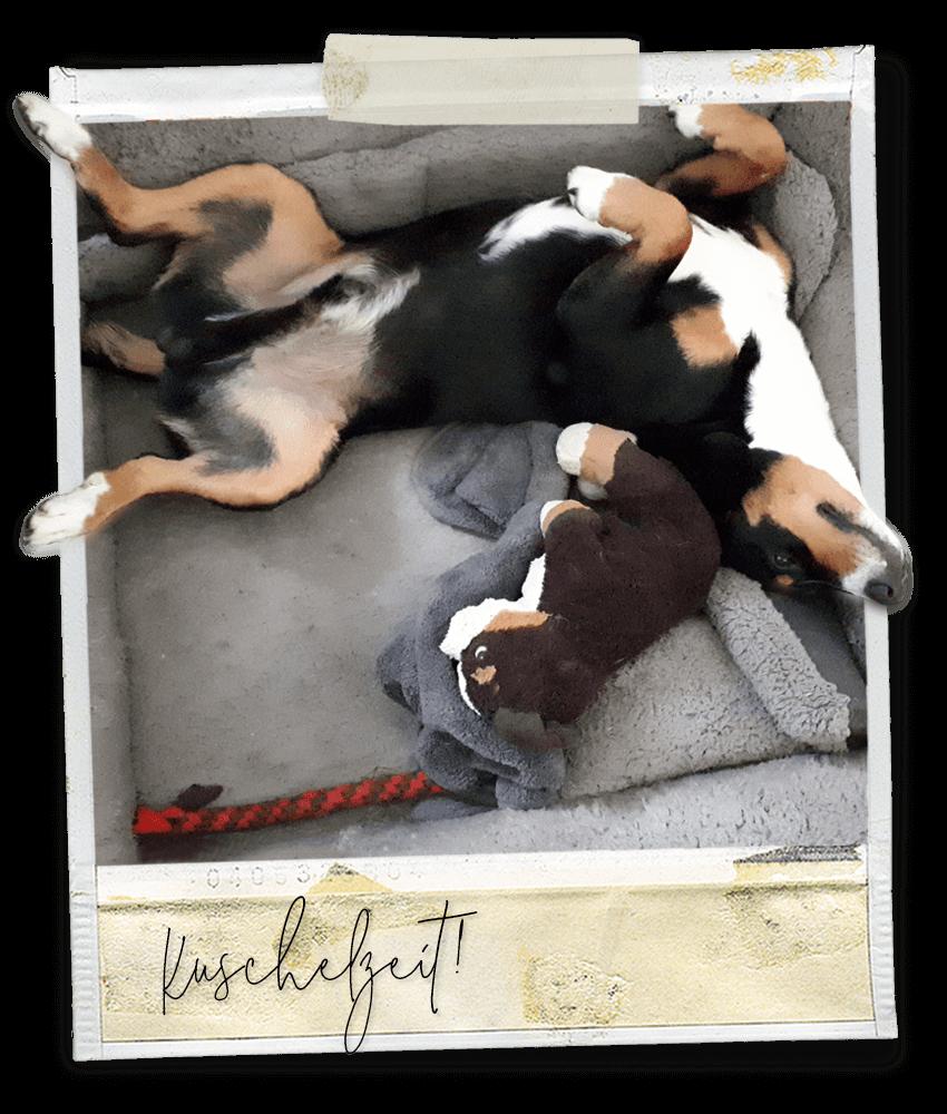 Kuschelzeit ... Marlo vom Tanneggergächli, der Entlebucher Sennenhund vom Gehrshof in der Lüneburger Heide.