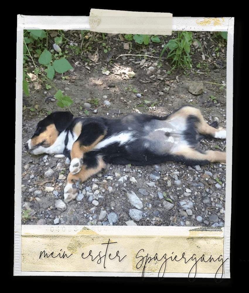 Mein erster Spaziergang ... Marlo vom Tanneggergächli, der Entlebucher Sennenhund vom Gehrshof in der Lüneburger Heide.
