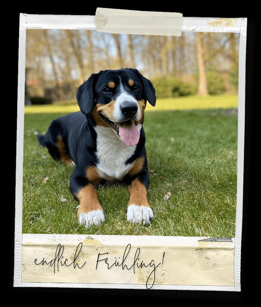 Endlich Frühling ... Marlo vom Tanneggergächli, der Entlebucher Sennenhund vom Gehrshof in der Lüneburger Heide.