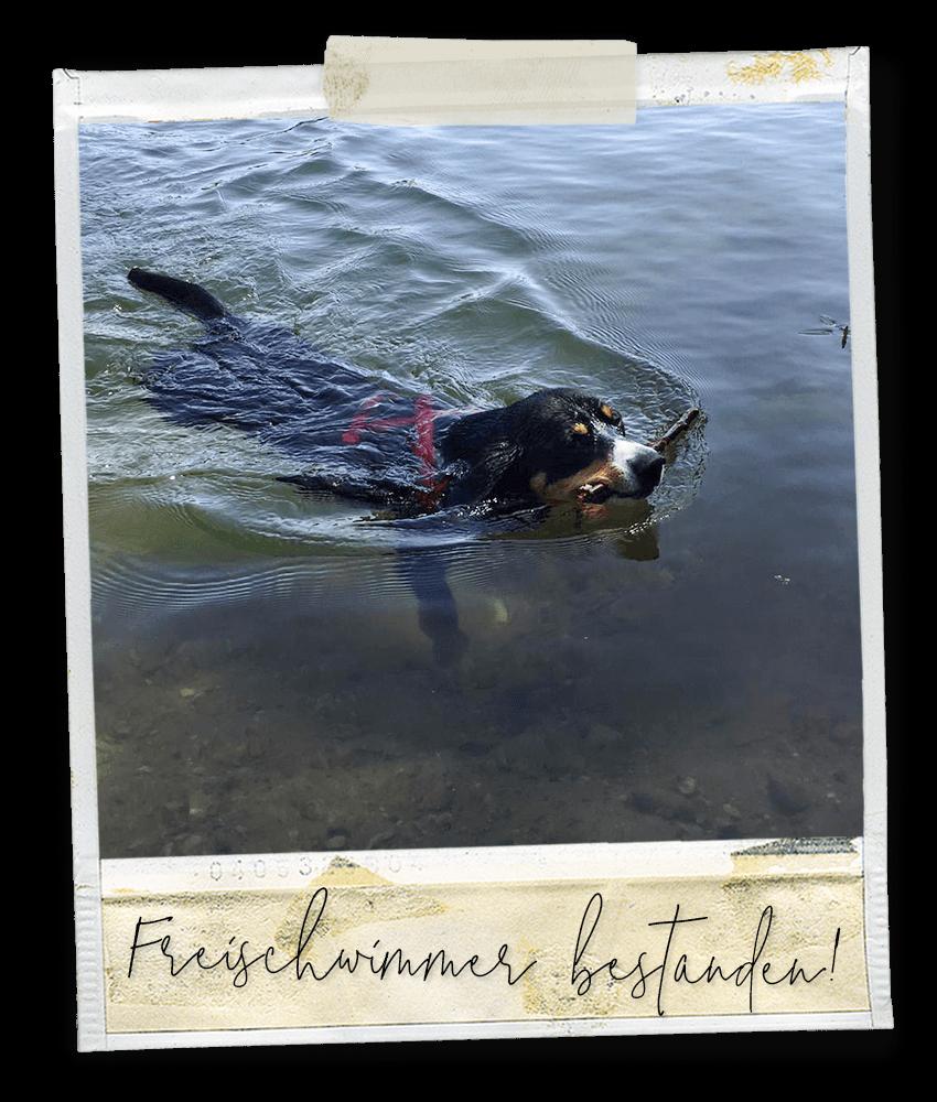 Freischwimmer bestanden ... Marlo vom Tanneggergächli, der Entlebucher Sennenhund vom Gehrshof in der Lüneburger Heide.