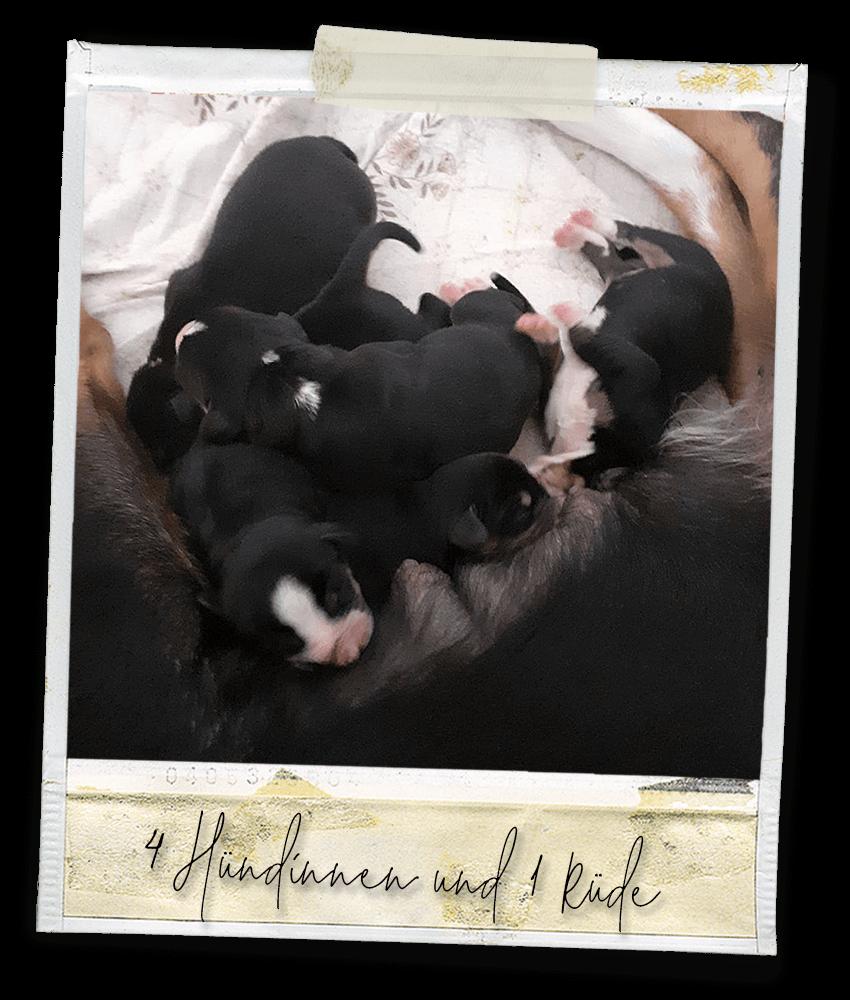 Unsere Babys ... Marlo vom Tanneggergächli, der Entlebucher Sennenhund vom Gehrshof in der Lüneburger Heide und Franzi vom Spechtwald